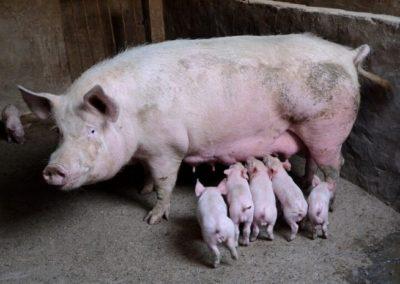 Creșterea porcilor în gospodării NU va fi interzisă