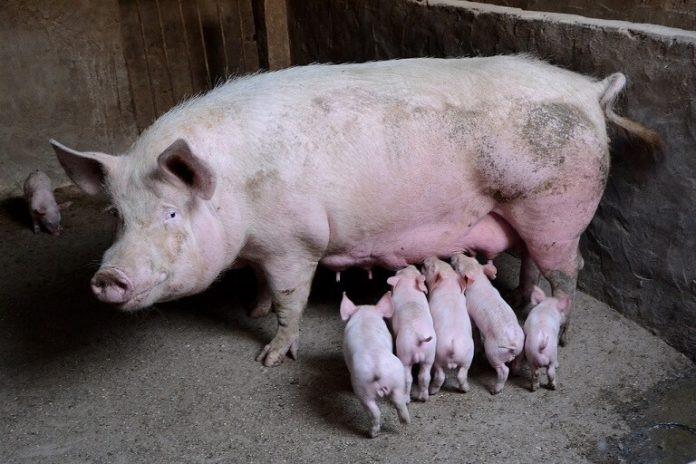 Cresterea porcilor NU se interzice